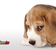 senso-di-colpa-cane