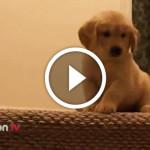 VIDEO: cucciolo impara a scendere le scale