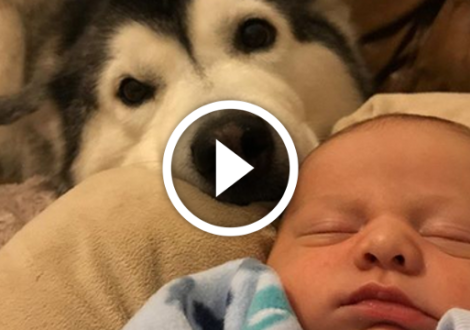 video-husky-babysitter