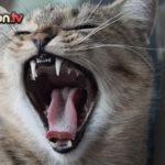 Igiene orale e salute dentale del gatto