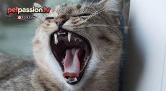 Pulizia denti gatto