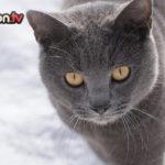Il gatto Certosino… un cacciatore leggendario!