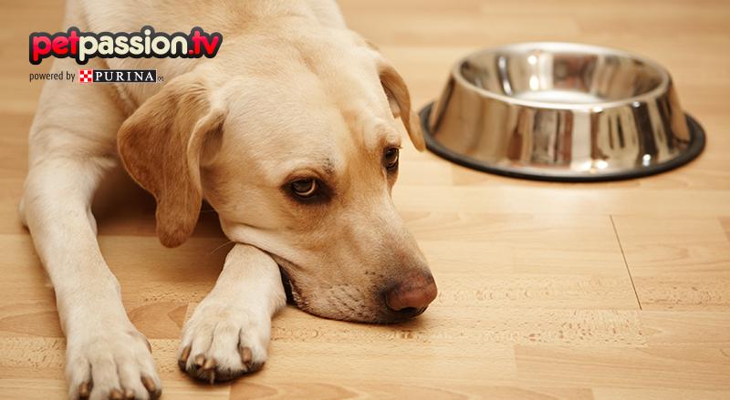 Intolleranze alimentari nel cane, quali sono le più frequenti e come riconoscerle