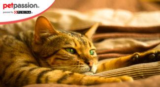 7.-Gatto-di-razza-Savannah