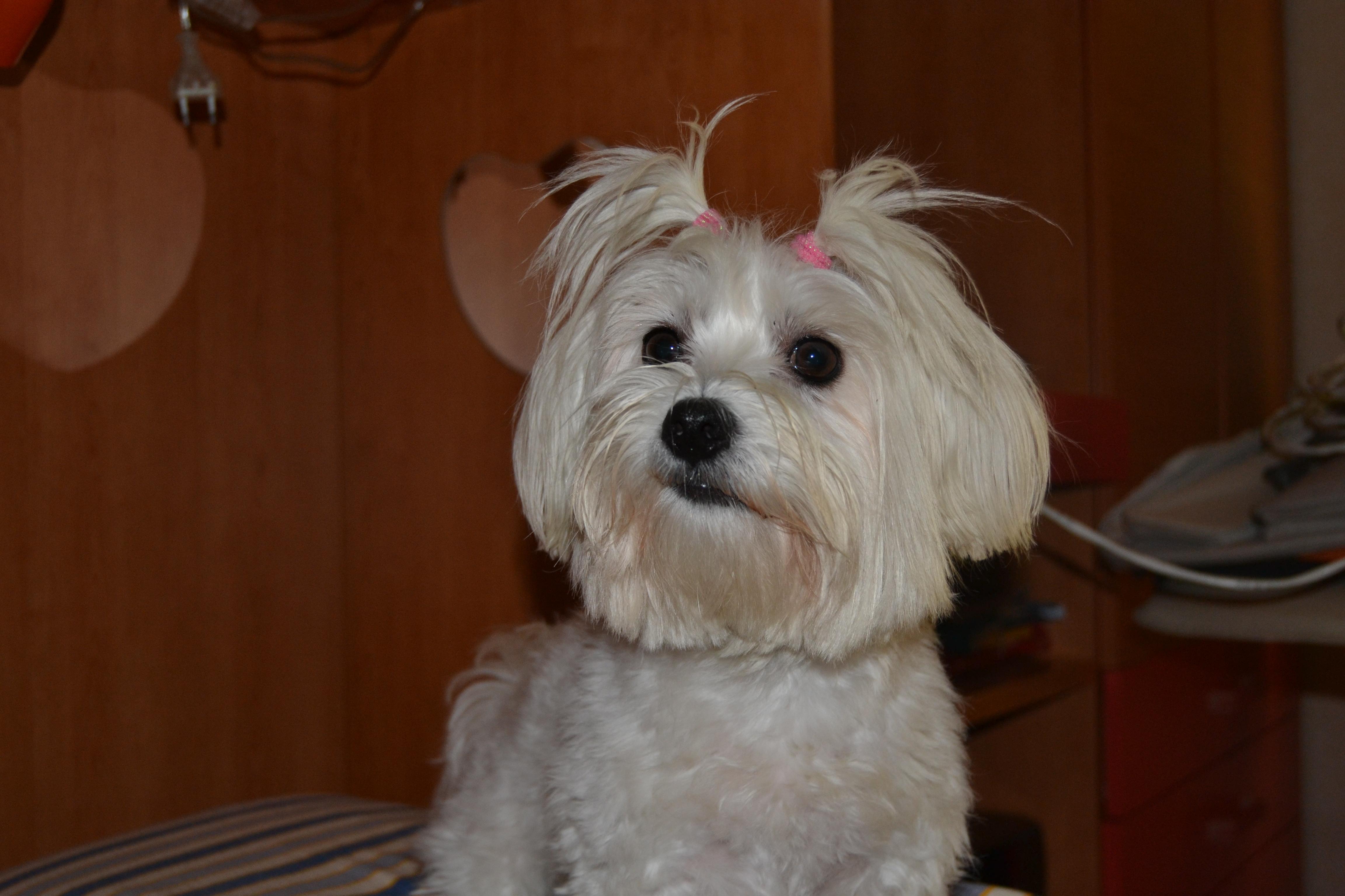 Gruppo Quelli Che Come Me Adorano Il Cane Maltese Petpassion