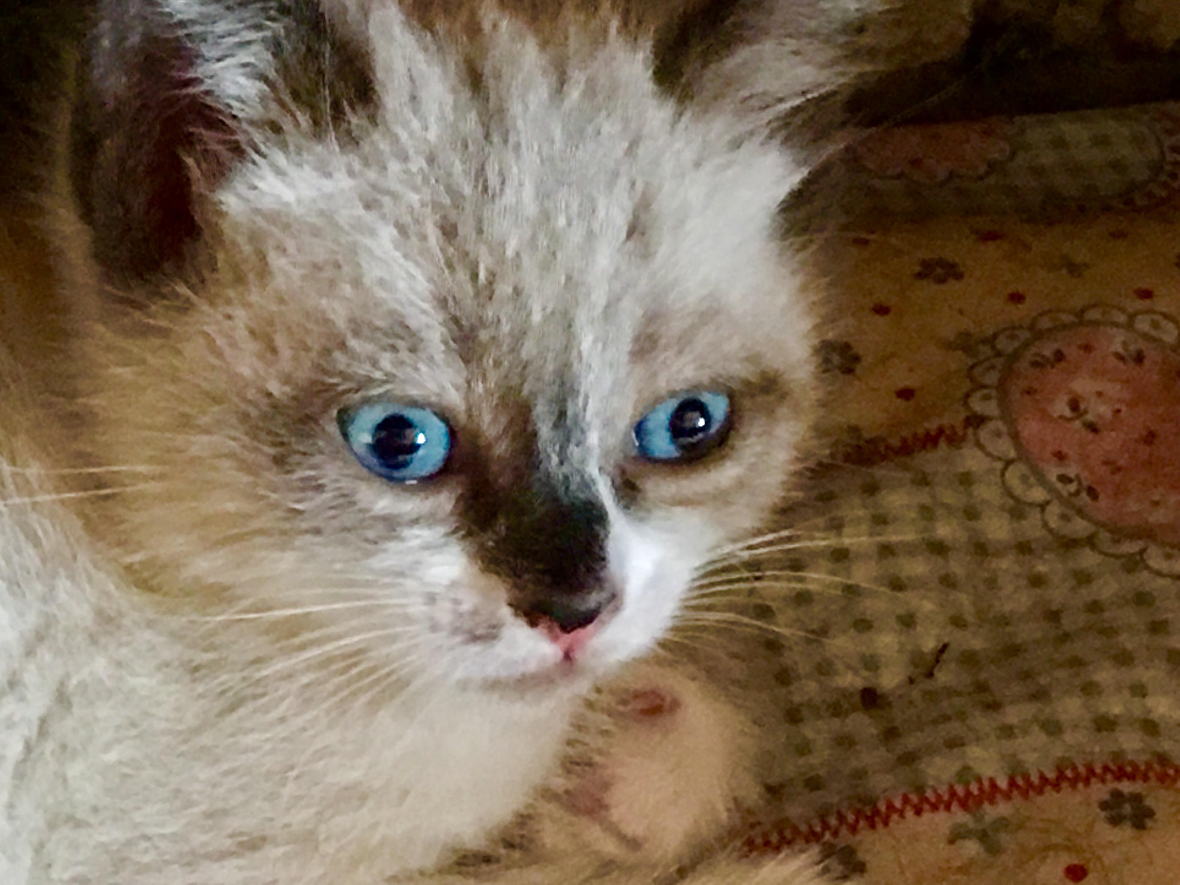 Gruppo gatti con occhi impari petpassion for Gatti con occhi diversi