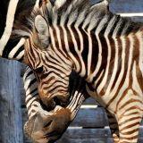 Al Bioparco di Roma è nata Marcella la zebra