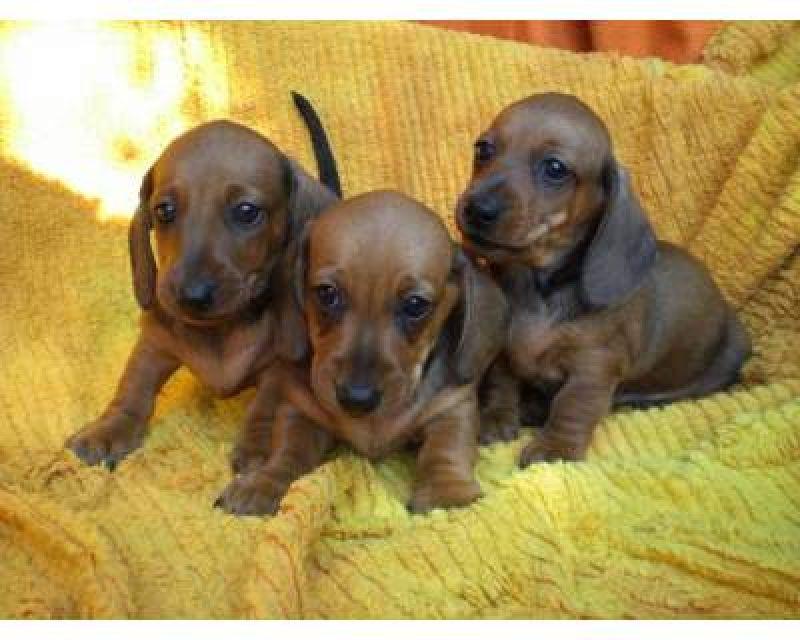 Cuccioli Di Bassotto Nano Petpassion