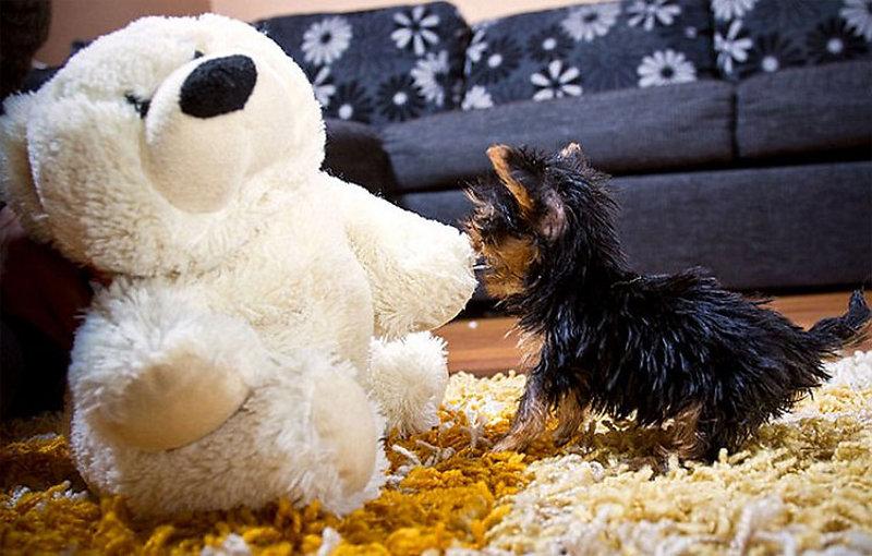 Yorkshire Terrier Toy: cane di piccola taglia