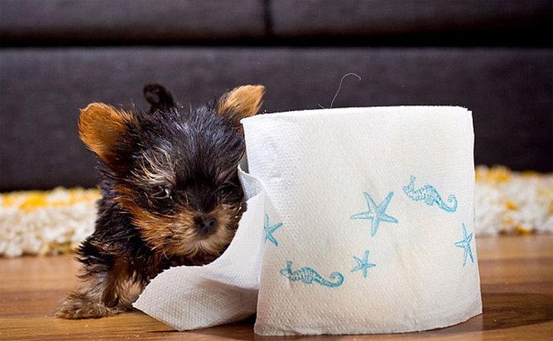 Meysi il cucciolo di razza yorkshire terrier toy pi for Piccolo cottage che vive