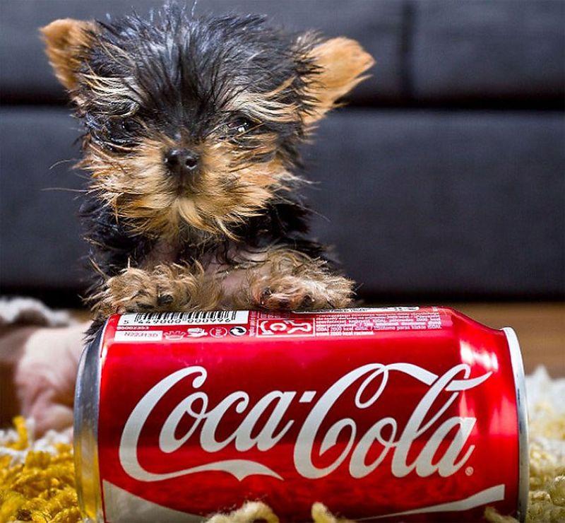Yorkshire Terrier Toy il cucciolo grande quanto una lattina