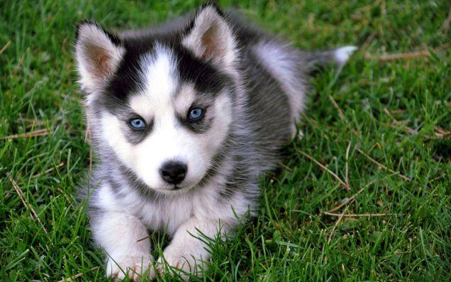 Cucciolo di Siberian Husky