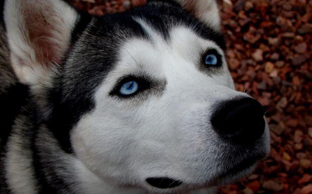 Occhi azzurri del Siberian Husky