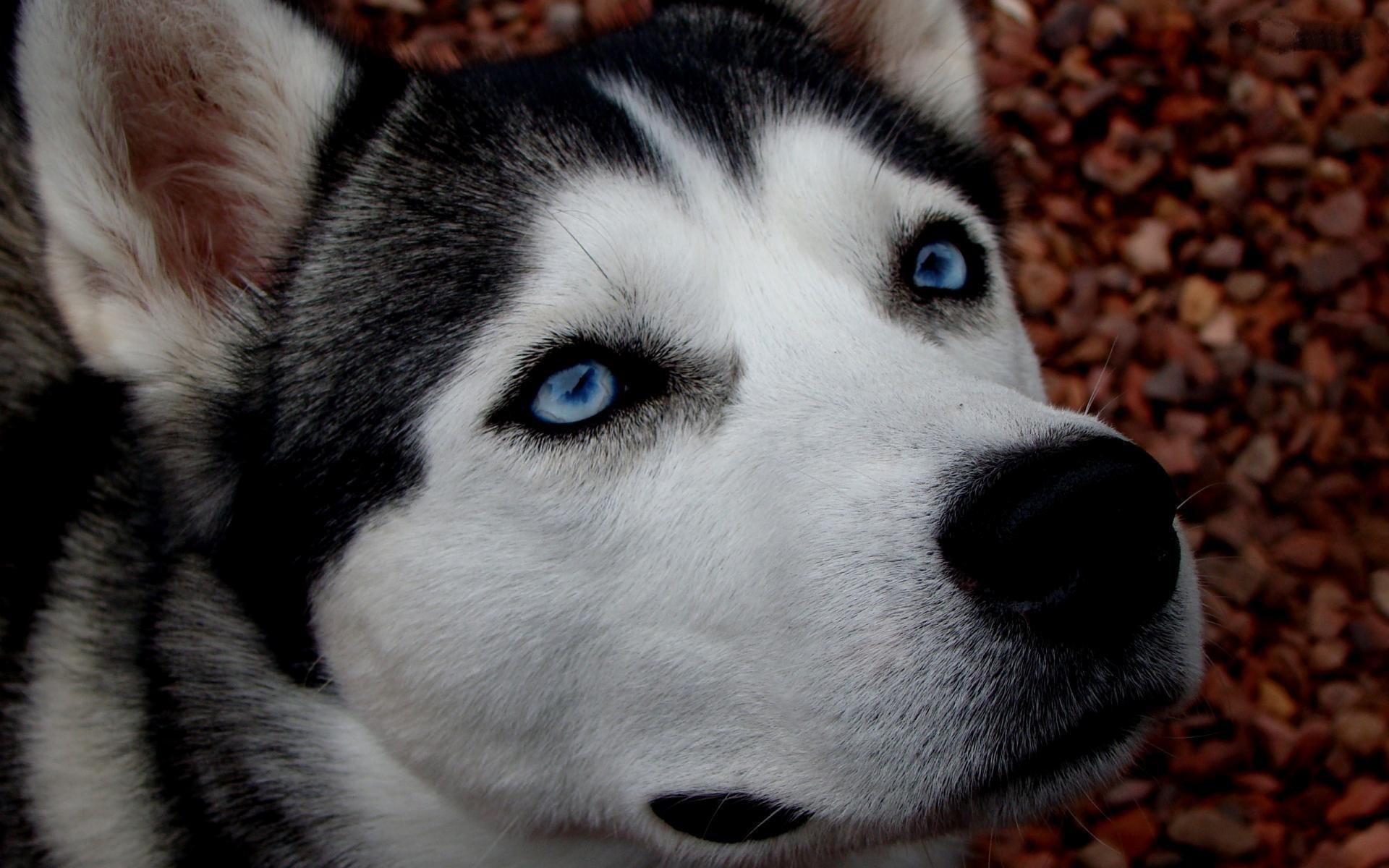Occhi azzurri del siberian husky cane di razza siberian - Cane occhi azzurri ...