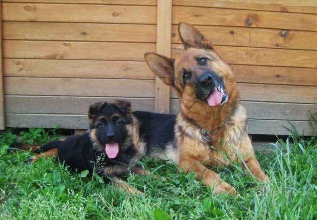 Pastore Tedesco: un cucciolo e un adulto