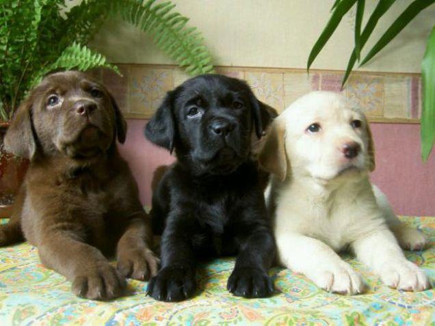 Cuccioli di labrador miele, nero e cioccolato