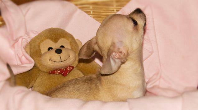Chihuahua Toy Sabbia
