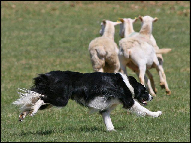 Cane Border Collie, cane da pastore