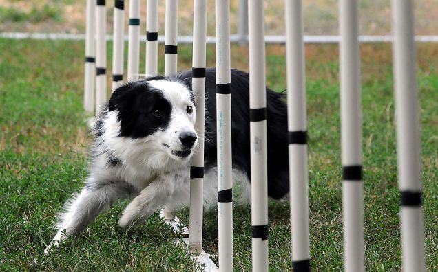 Cane Border Collie: gara di agility dog