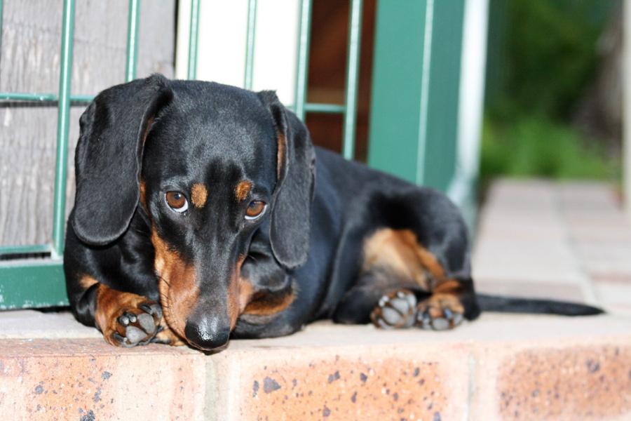 Bassotto Nero Con Focature Cani Di Razza Bassotto A Pelo Lungo