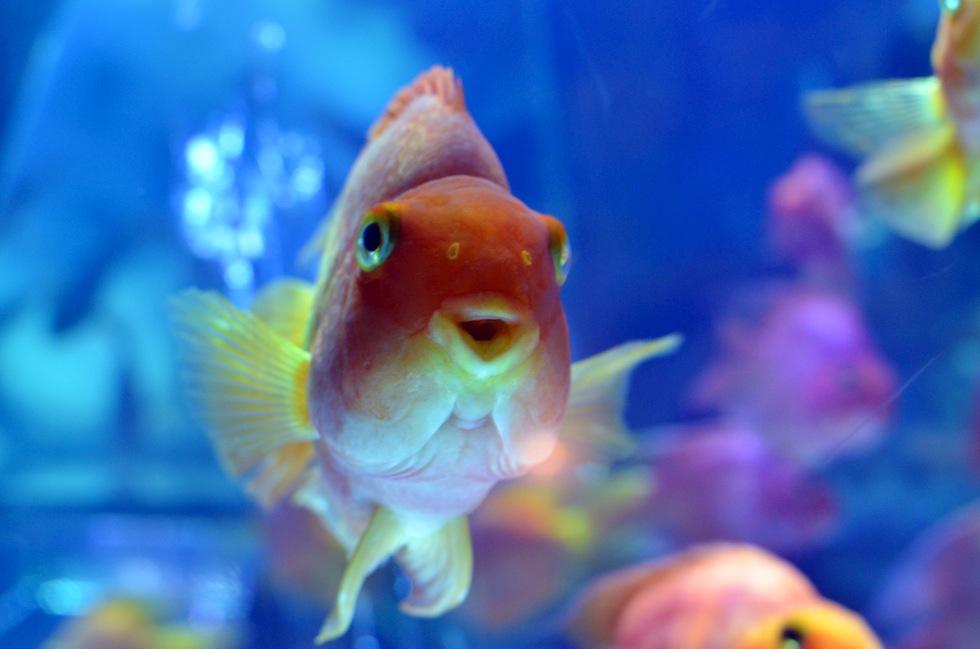 Profilo c sono un tipo da pesce rosso petpassion for Pesce rosso costo