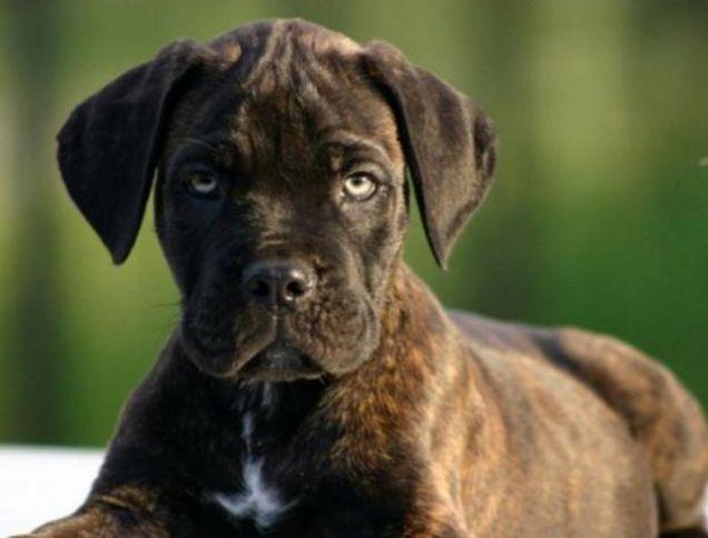 Cani di razza: cucciolo di cane Corso