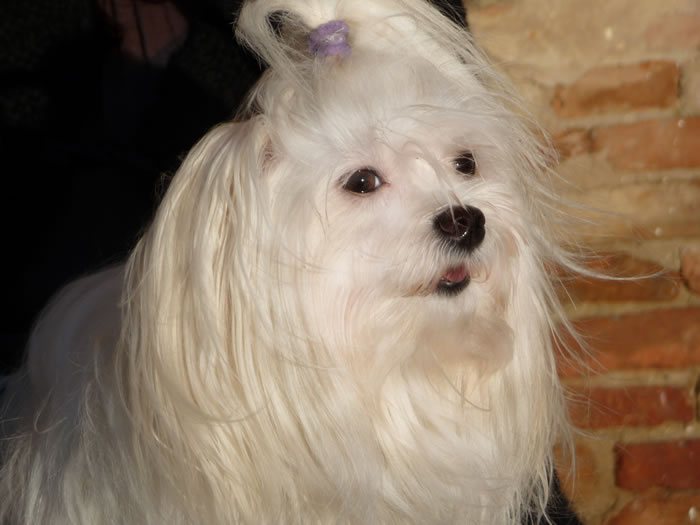 Cani di razza cane maltese adulto petpassion for Razza maltese