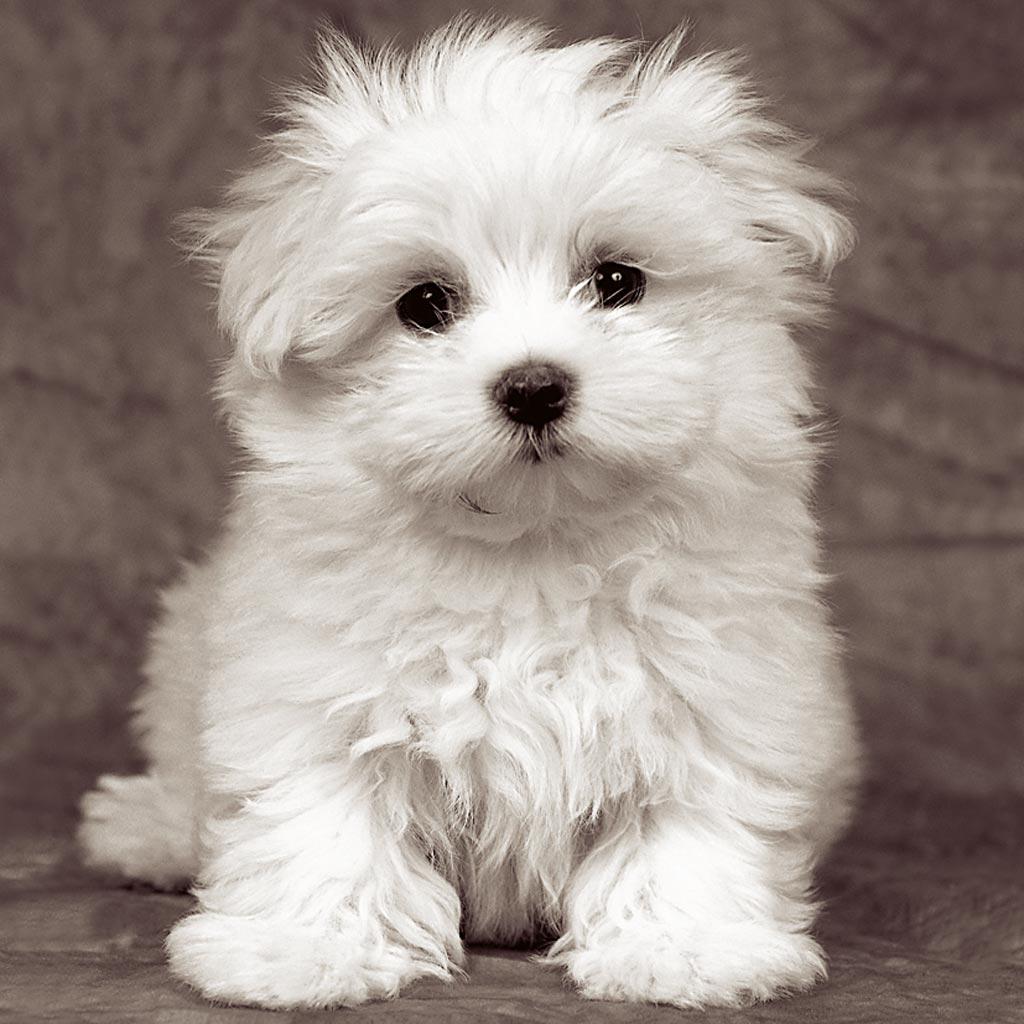 cani di razza: cucciolo di cane maltese | petpion
