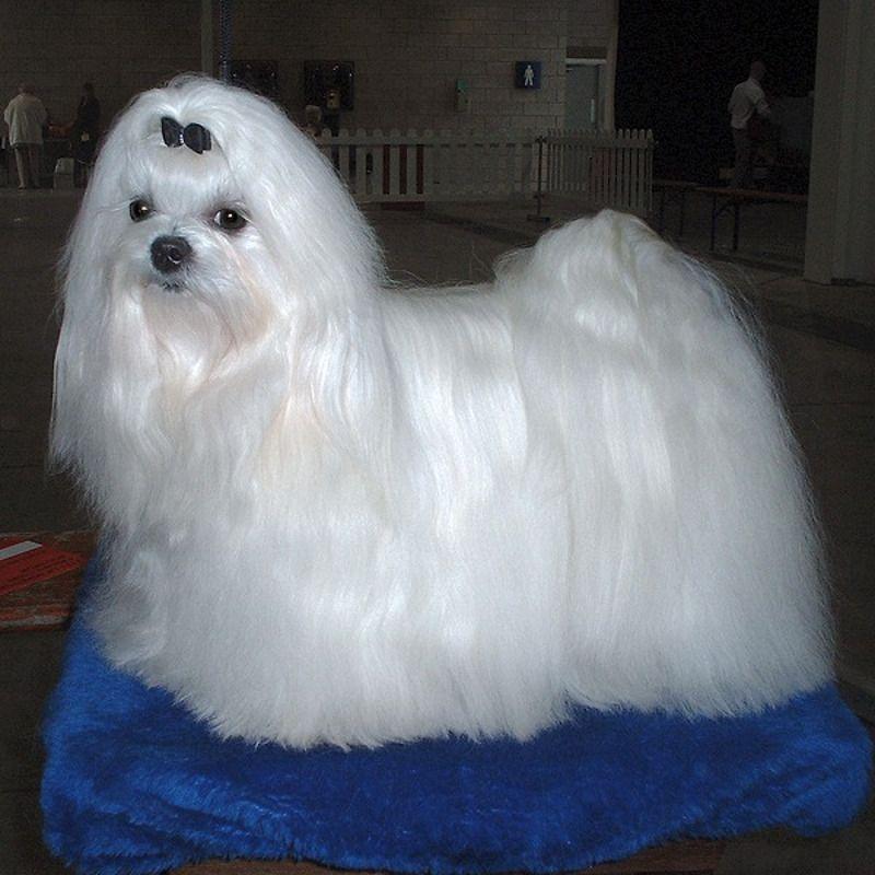 Cani di razza: cane Maltese adulto