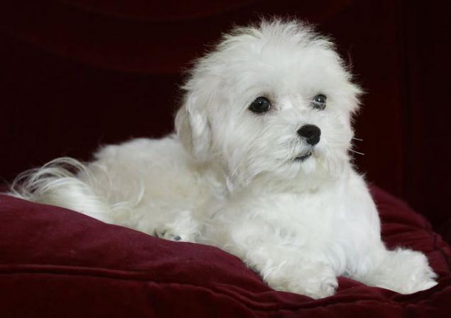 Cani di razza: cucciolo cane Maltese