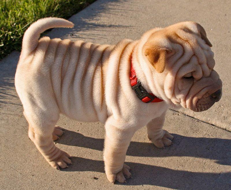 Cane di razza Shar Pei
