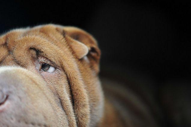 Cani di razza: lo Sharpei
