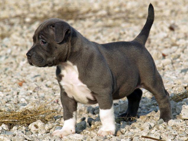Cucciolo di cane razza Pit Bull