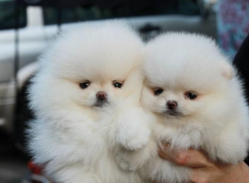 Cuccioli Di Cane Pomerania