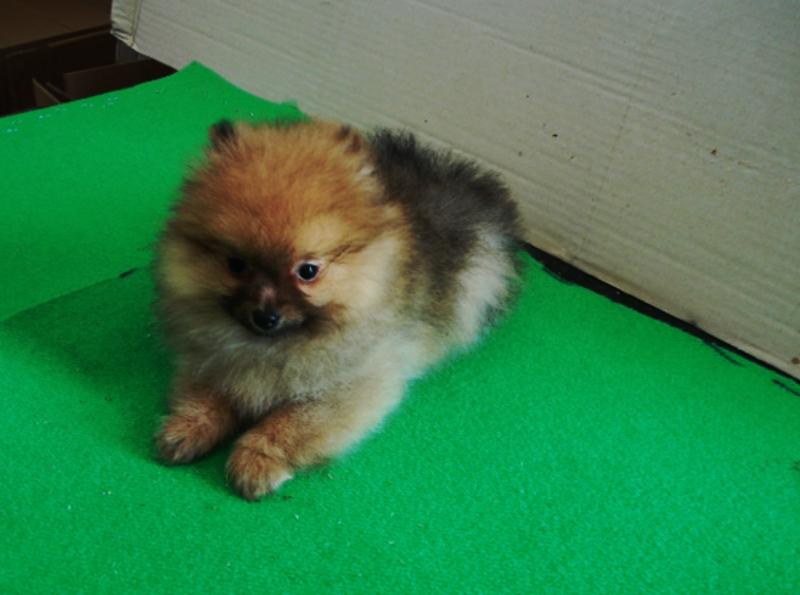 Cucciolo di spitz nano o volpino di pomerania cani di for Cani pomerania