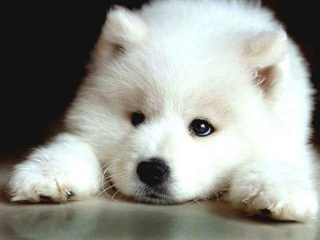 Cucciolo di razza Samoiedo