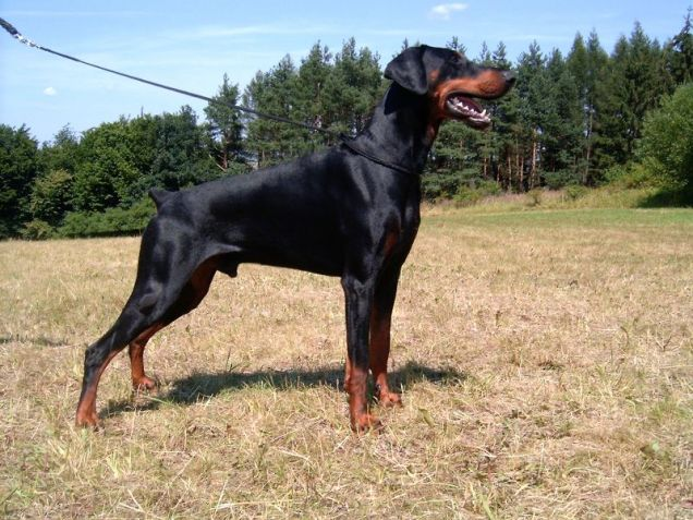 Dobermann adulto