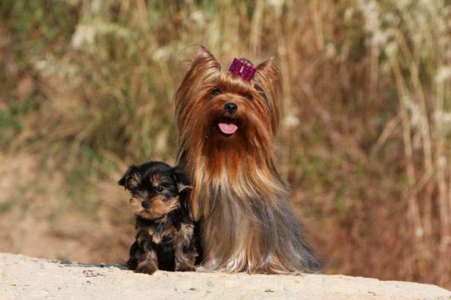 Adulto e cucciolo di Yorkshire terrier