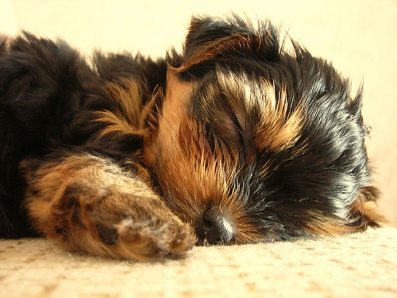 Album cani di razza yorkshire terrier petpassion for Cani da salotto