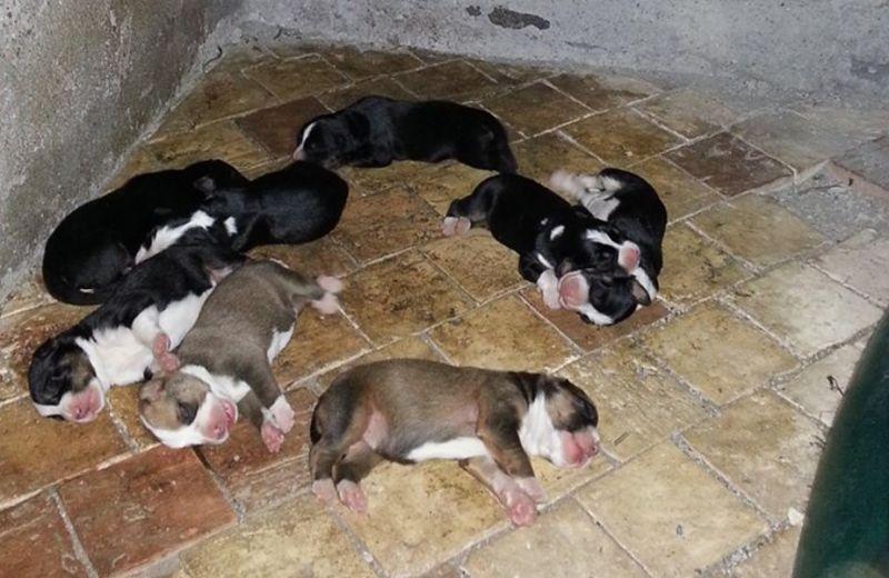 Cuccioli di Bovaro in adozione