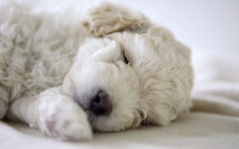 Cucciolo di Bichon Frisé che dorme