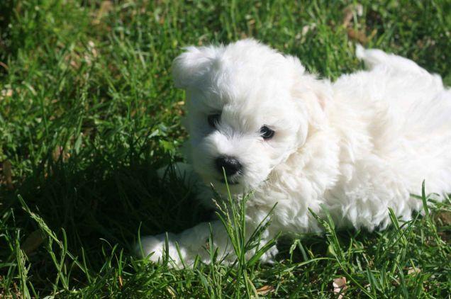 Un cucciolo di razza Bolognese