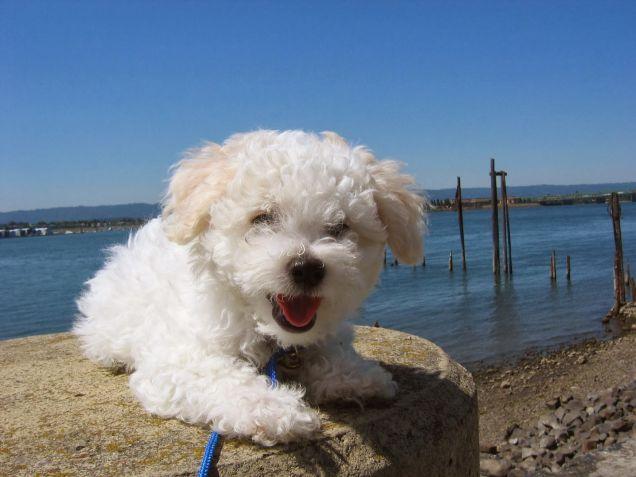 Un cane di razza Bolognese al mare