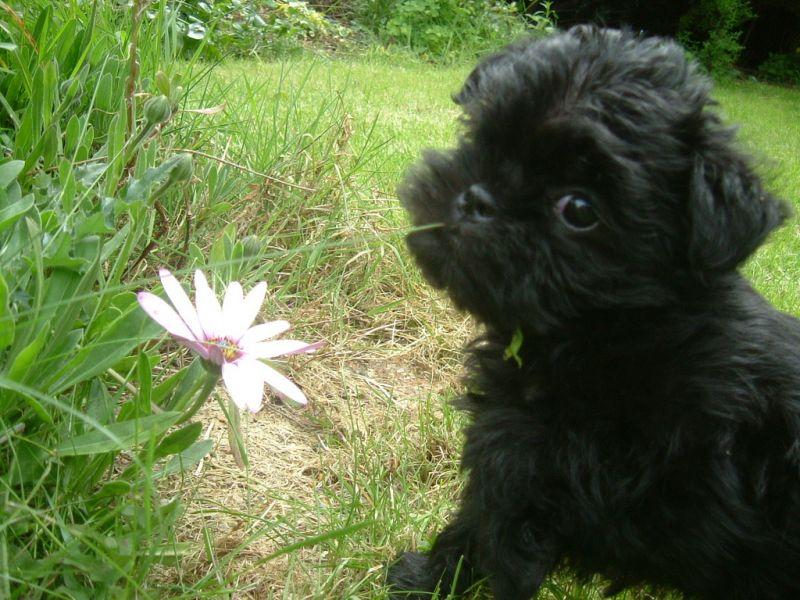 Un dolcissimo cucciolo di razza Affenpinscher