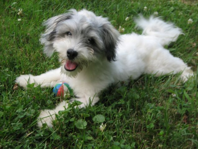 Un cane Bichon Avanese gioca con la palla