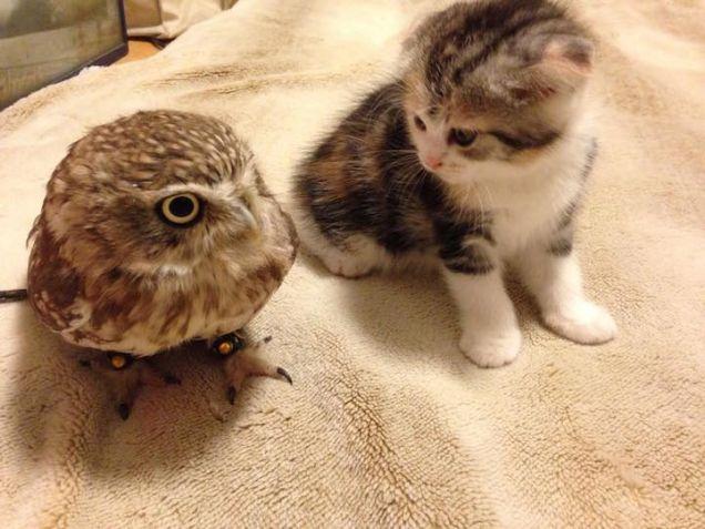 Amicizia tra un gatto e un gufo