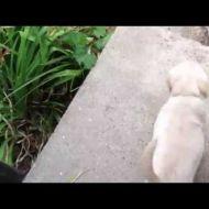Il cucciolo che suona il campanello per uscire (video animali)