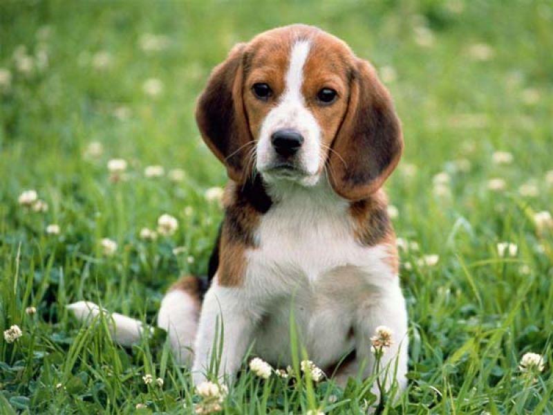 Cerco Cucciolo Di Beagle O Di Labrador In Regalo Petpassion