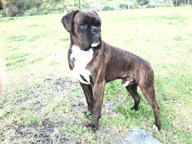 Boxer tigrato, Due anni, maschio.