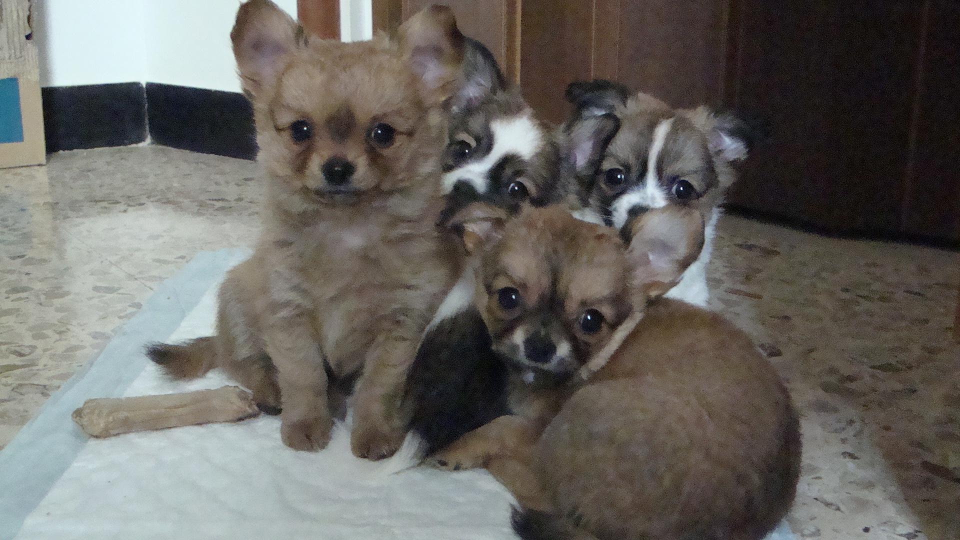 Vendo Chihuahua A Pelo Lungo Petpassion